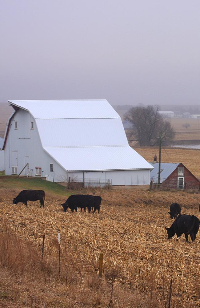 Barn_Cattle