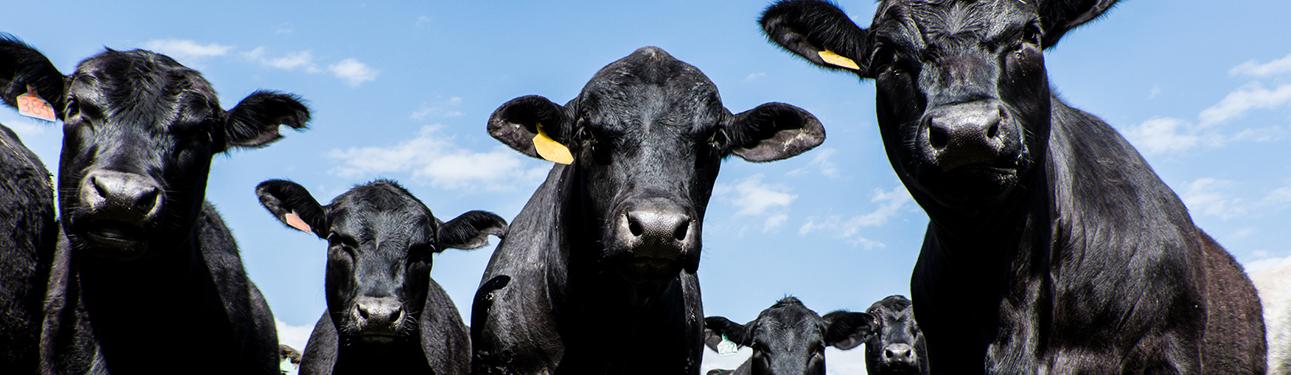 Cattle_Narrow
