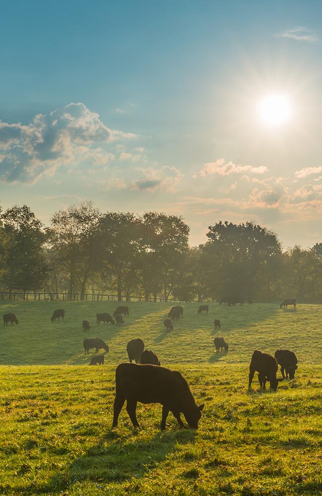 Cows Vertical